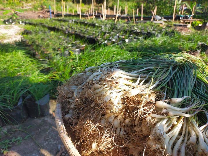 'Kucai dayak @ Lokio @ Bawang bratak @ Losun' adalah antara sayur daun bawang …