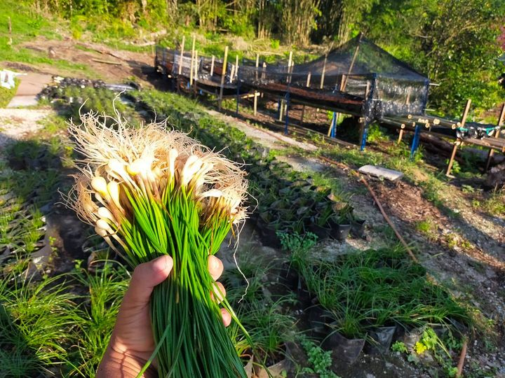 Fresh from the farm, delivery throughout Kuching EVERYDAY! Order NOW.