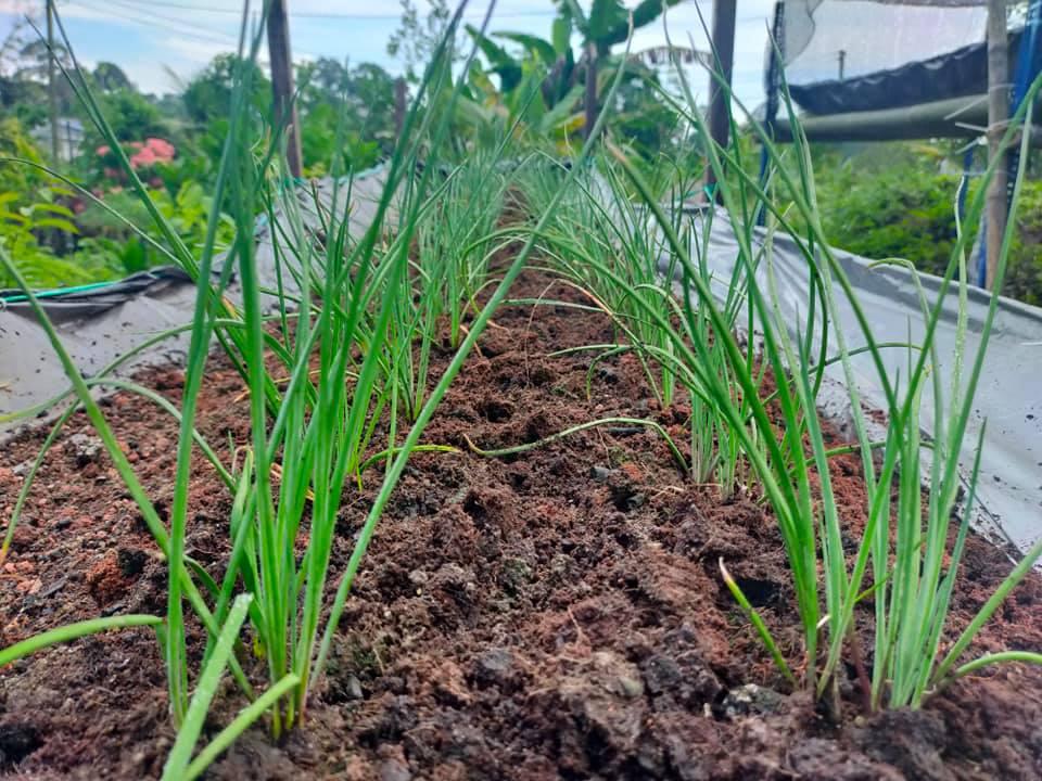 Cuci mata segar di kebun .. JOM SHOPPING ONLINE di www.timogah.com – pelbagai ke…